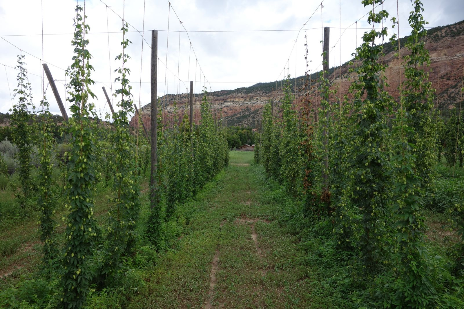 Rows of hops